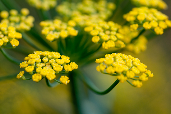 Fennel_Flower