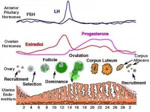 menstrual-cycle-hormones-300x225