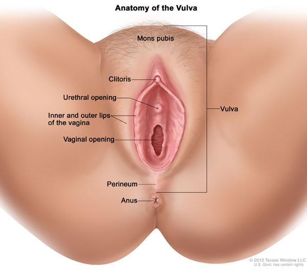 vulva-anatomy