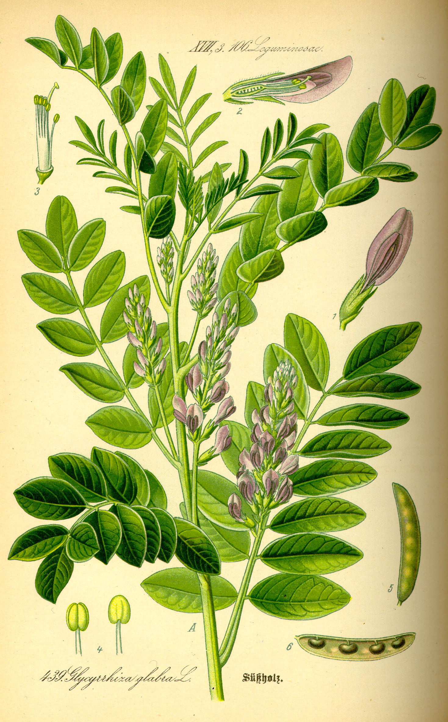 Illustration_Glycyrrhiza_glabra0