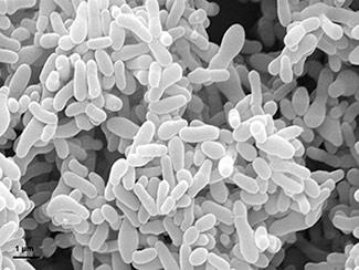 14MML001_gardnerella_vaginalis_bacteria_LR