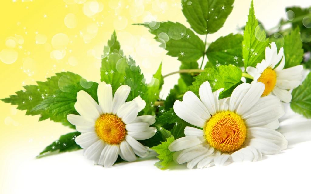 chamomile-flower-wallpaper-2560x1600-1401 (1)
