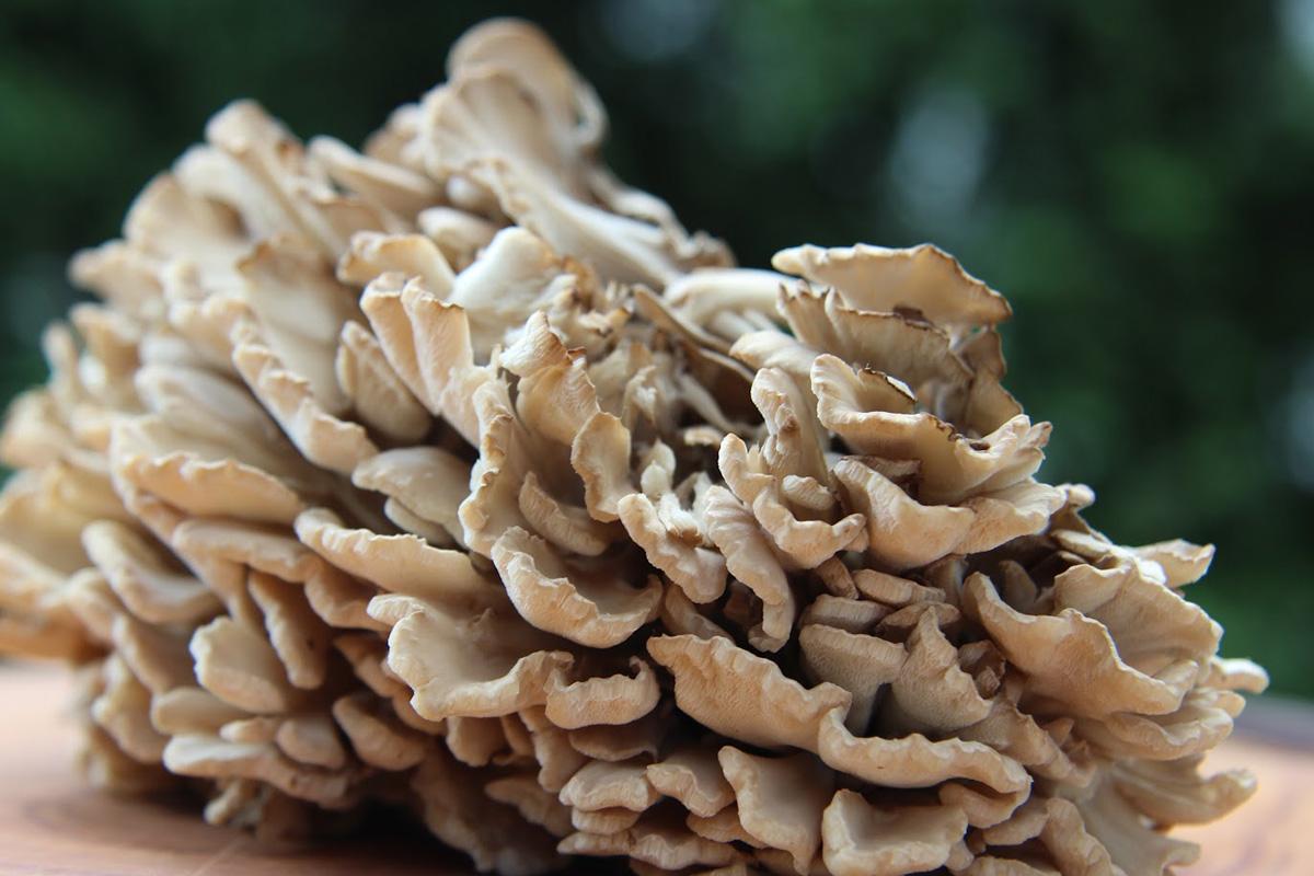 Maitake-Mushrooms-1